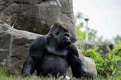 Stronger (Ben_ProPhotography) Tags: animal zoo nature strong wildlife wilderness wild professional photographer nikond5600 gorilla