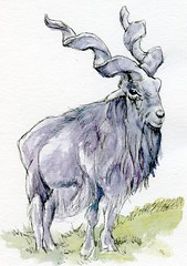 Postcards for the Lunch Bag - Markhor (molossus, who says Life Imitates Doodles) Tags: postcardsforthelunchbag markhor goat watercolor postcard animal