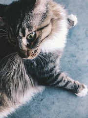 170/365 (moke076) Tags: 2018 365 project 365project project365 oneaday photoaday iphone cell cellphone mobile cat animal pet maine coon kitty grey gray tabby closeup furry jake whiskers