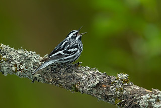 black-and-white- Warbler