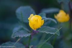 Cowslip (timo.lauttajarvi) Tags: landscape laplandfinland midnight flower colours