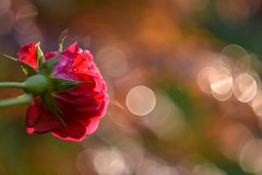Red rose. (agnieszka.a.morawska) Tags: light garden nature helios helios44m bkhq beyondbokeh bokehlicious macro dof bokeh flower red redrose rose