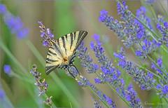 22 giugno 2018 (adrianaaprati) Tags: iphiclidespodalirius butterfly podalirius insect nature summer june colors wings beauty lavender flowers podalirio blur