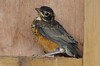 American Robin 3 (Fledgling) (Jewill16) Tags: robin fledgling bird thrush songbird deltabc