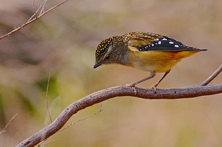 Spotted Pardalote (F)