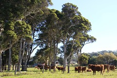 Berry NSW (RossCunningham183) Tags: toolijooa nsw australia field paddock countryside cows livestock trees fence grass