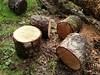 Wood Slices (Oregon Coastal Flowers) Tags: wood slices