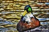 _DSC1550-01 (Omer Ibrahim Omer) Tags: wildlife duck water colour green mytilene aegean sea greece flamingo phoenicopterus roseus kalloni wetlands reflection story bird
