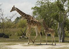 Giraffe with calf (ucumari photography) Tags: ucumariphotography zoo miami fl florida march 2018 giraffe animal mammal calf dsc3750