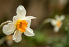 Double daffodil (brianmiller006) Tags: daffodils garden pembrokeshire flowers