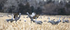 Stand Off (dshoning) Tags: sandhillcranes standoff nebraska