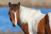 Blue-Eyed Dewey (Michael Rickard) Tags: assateagueisland assateague maryland nationalseashore horse wildhorse stallion blueeyes blue wildlife