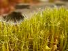 Kaktusmoos (Jörg Paul Kaspari) Tags: diecalmonttour wanderung vorfrühling calmont moos moss campylopus introflexus campylopusintroflexus glashaar kaktusmoos