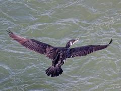 Cormoran sur la Garonne (golfpatphoto) Tags: garonne toulouse cormoran