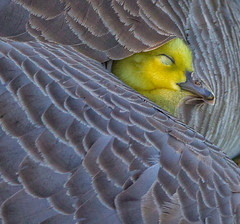 Safely Tucked In (jchowaniec) Tags: bird birds avians cute love avian canon tamron nature wildlife animal canada goose geese gosling yellow feathers alberta animals