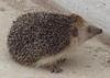 eriçó (cincde82012) Tags: erinaceinae hedgehog tarragona catalonia ebre