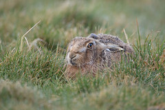 Brown Hare Lying Low (www.andystuthridgenatureimages.co.uk) Tags: hare brown lying low down form suffolk