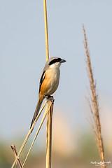 Long-tailed Shrike (mathewindelhi) Tags: shrike sultanpur bird birds nature wild wildlife delhi india haryana