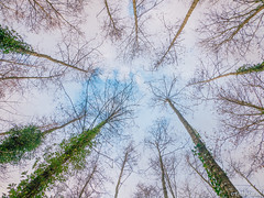 Look up (✦ Erdinc Ulas Photography ✦) Tags: tree sky blue clouds focus low angle trees up netherlands dutch holland panasonic leaf green forest bos plants plant wood autumn branch