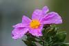 DSC09858 (Ezzo33) Tags: france gironde nouvelleaquitaine bordeaux ezzo33 nammour ezzat sony rx10m3 parc jardin fleur fleurs flower flowers mauve rose mallow