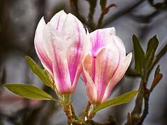 Magnolia -5- (Jan 1147) Tags: magnolia bloem bloemen flower flowers natuur nature depinte belgium bloei
