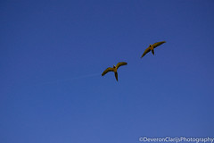 DSC_1206 (deveronclarijs) Tags: animals animal blijdorp dierentuin dieren dier diergaarde d5300 nederland nl nikon nikond5300 rotterdam zoo bird birds vogel vogels