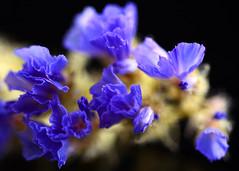 Blue & Frilly (linda.addis) Tags: macromondays theblues