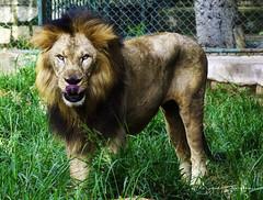 DSC08154 (Gans 10) Tags: animals lion lioness majestic
