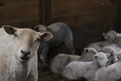 stal 2499 (Jeannemieke Hectors) Tags: schaapskuddevockestaert schapen sheep lammeren lambs schiedam middendelfland vlaardingen