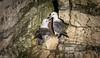 Courting Fulmars (Steve (Hooky) Waddingham) Tags: stevenwaddinghamphotography animal bird british sea coast fish photography cliffs wild wildlife