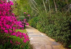 Pink azaleas bloom at Bellingrath Gardens in Theodore Alabama (CarmenSisson) Tags: alabama bellingrathgardens gulfcoast theodore flowers gardens outside tourism touristattractions azaleas pink usa