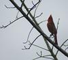 Northern Cardinal (maatseshat) Tags: nikon d2xs cardinal tokina80400mmf4556atx redbird northerncardinal