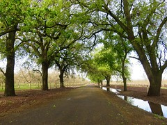 after the rain (Black Cat Bazaar) Tags: oak trees walnut orchard road country rural water puddles reflection spring morningwalk nord chico california ca northerncalifornia branches newleaves
