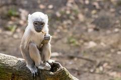 Time for a bite (Photography by Martijn Aalbers) Tags: hanumanlangur hanumanlangoer monkey ape beast animal mammal aap beest dier life leven zoo dierentuin park parc nature natuur deapenheul apeldoorn gelderland guelders canoneos77d ef70200mmf4lisusm wwwgevoeligeplatennl