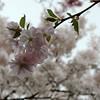 It's the season (Shahrazad26) Tags: cherryblossom kersenbloesem sakura bloesem blossom amsterdamsebos amsterdam noordholland nederland holland thenetherlands paysbas