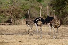 Common Ostrich, Autruche d'Afrique (Struthio camelus) - Zakouma National Park, CHAD (brun@x - Africa: birds & more) Tags: 2018 bruno portier brunoportier tchad chad zakouma national park zakoumanationalpark common ostrich autruche dafrique struthio camelus commonostrich autruchedafrique struthiocamelus struthionidae struthioniformes avestruz straus estruçcomú struisvogel
