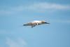 Gannet at Black Head (Eskling) Tags: gannet morusbassanus bird seabird blue sky flight flying blackhead northern ireland