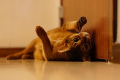 Fooling around (cropped) (DizzieMizzieLizzie) Tags: rolling fooling around hallway floor abyssinian aby lizzie dizziemizzielizzie portrait cat feline gato gatto katt katze kot meow pisica sony neko gatos chat a6500 zeiss fe 55mm f18 za ilce6500 ilce sel55f18z sonnar 2018 bokeh pet animal wall