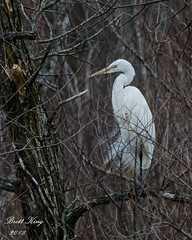 Great  Egret (dbking2162) Tags: birds bird nature nationalgeographic wildlife water trees wading egrets heron indiana animal roosting white