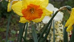 ☆YellowOrangeFlower (SnowM28) Tags: flower yello orange green water kanagawa yamato sony a5000 1650mm