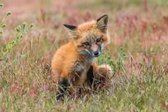 Red Fox Pup (gokotta108) Tags: redfox redfoxes foxes sanjuanislandfox wildlife wildflowers nature animals sanjuanisland sanjuanislandfoxes