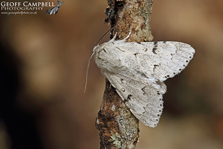 The Miller (Acronicta leporina)