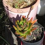aloe plant 6 13 18 thumbnail