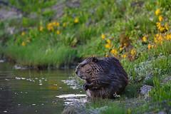 Just Chillin' - Beaver Sitting on the Side of Pond - 8010b+ (Teagden (Jen Hall)) Tags: beaver chillin pond water flowers jenniferhall jenhall jenhallphotography jenhallwildlifephotography wildlifephotography wildlife nature naturephotography wyoming wyomingwildlife photography wild nikon