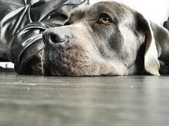 Let me know when you're ready #canecorso #dogsareawesome #bigdogs #pies #sonyalphaphotography (ma4werner) Tags: canecorso dogsareawesome bigdogs pies sonyalphaphotography