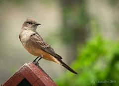 Say's Phoebe (Blazingstar) Tags: says phoebe bird studio 26 flycatcher garden alberta