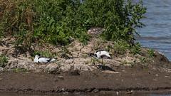 avocet doh (mal265) Tags: avocet nest birds parents water rspb blacktoft sands nature wildlife eggs egg green white blue