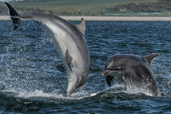 Bottle nosed dolphins (MarkBee3) Tags: