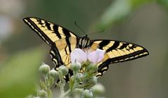 Canadian Tiger Swallowtail (brian.bemmels) Tags: papillocanadensis papilio canadensis canadiantigerswallowtail swallowtail butterfly insect nature fauna outdoors wildlife delta bc britishcolumbia canada macro