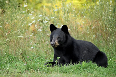 Tranquilo (Megan Lorenz) Tags: blackbear bear bearcub yearling animal mammal nature wildlife wild wildanimals ontario canada mlorenz meganlorenz